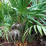 saw-palmetto-plant